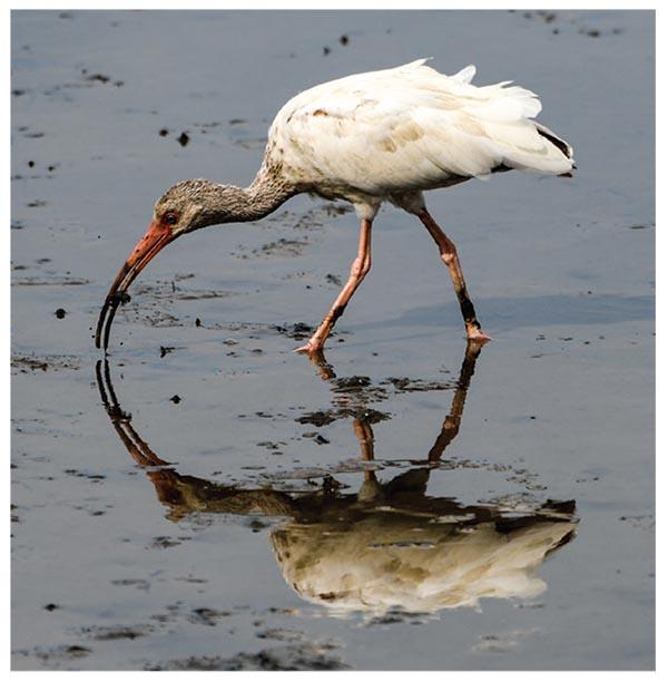 A wading white ibis.