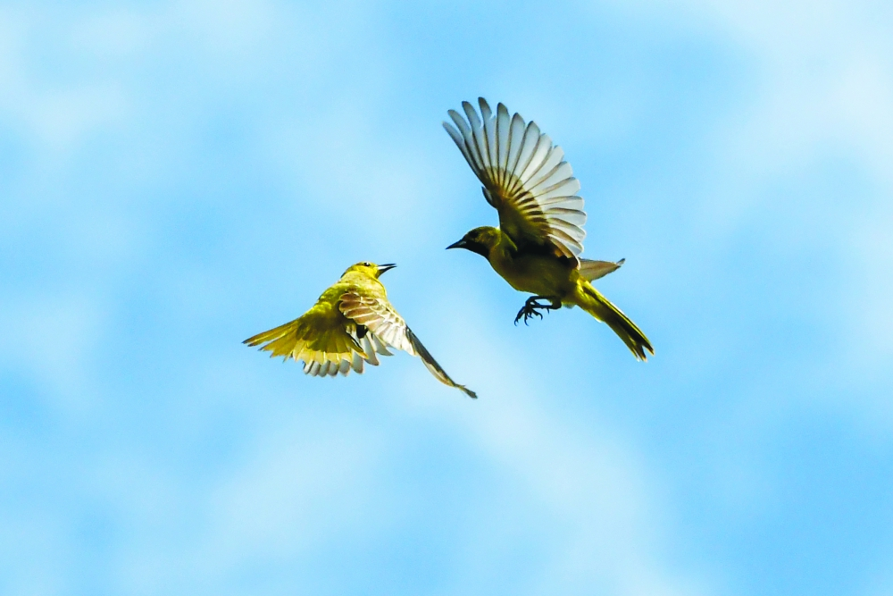 Orchard orioles dancing mid-air.